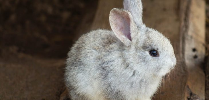 Why Do Rabbits Pull Their Fur Out