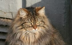 How To Groom A Maine Coon Cat