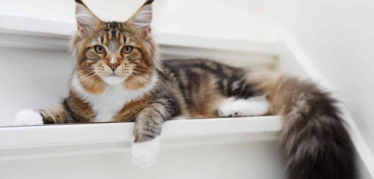 Is Maine Coon Hypoallergenic