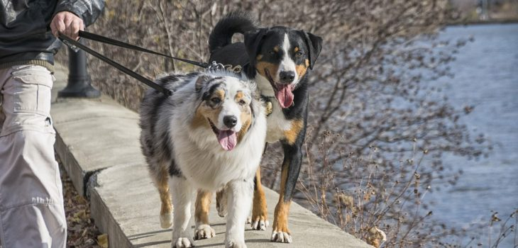 Training An Australian Shepherd To Walk On A Leash