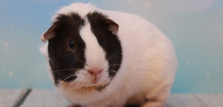 why do guinea pigs sneeze