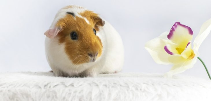 what does it mean when guinea pigs chatter their teeth