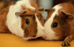 when are guinea pigs full grown