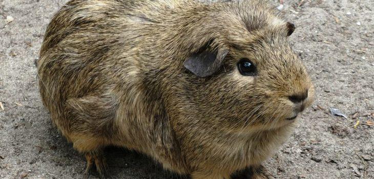 how big do guinea pigs grow