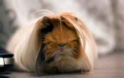 why do guinea pigs cry
