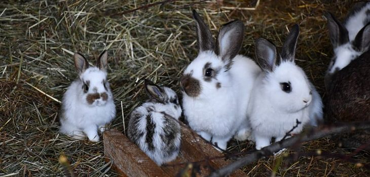What Is A Group Of Rabbits Called