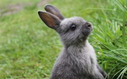 How long do Mini Rex rabbits live
