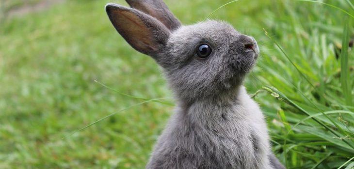 How long do Mini Rex rabbits live