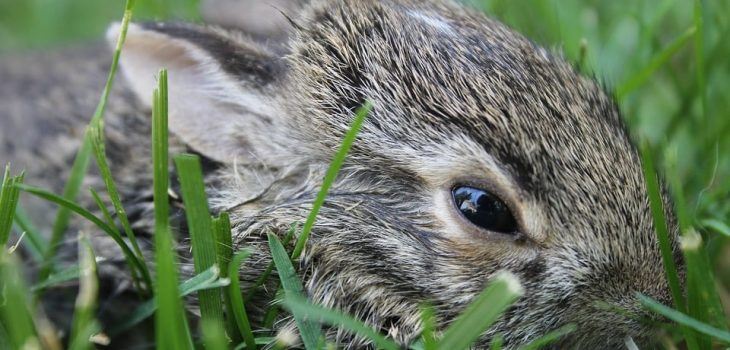 When Do Baby Rabbits Open Their Eyes