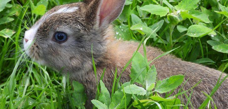 How Often Do Rabbits Poop