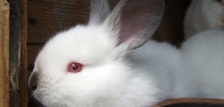 Why Do Rabbits Have Red Eyes
