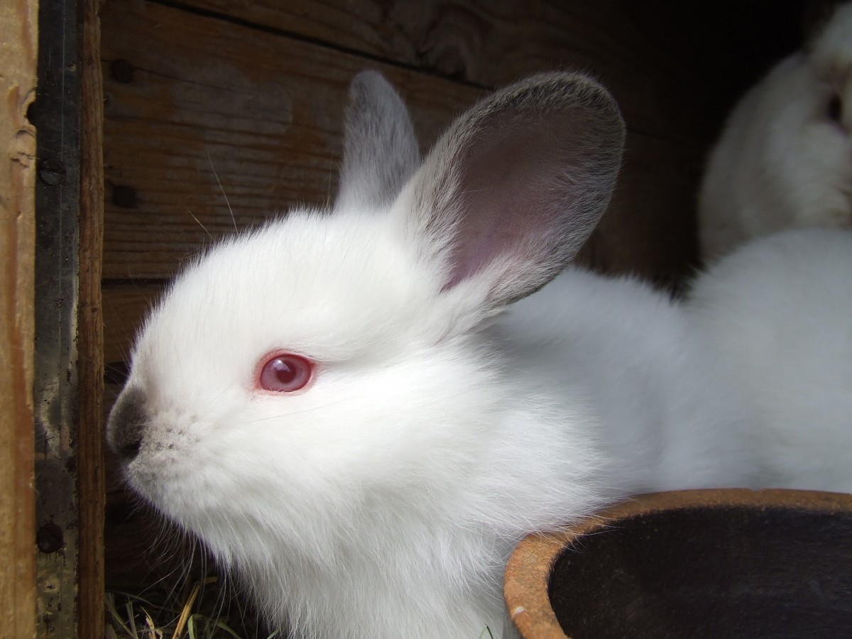 Why Do Rabbits Have Red Eyes 20 Awesome Breeds   PetCosset