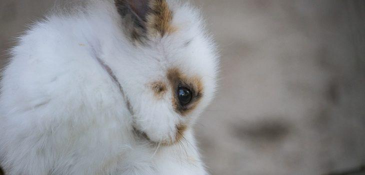 how often do rabbits pee