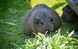How Long Are Guinea Pigs Pregnant