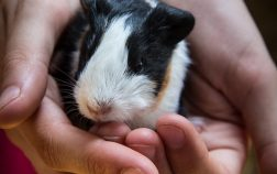 How To Clip Guinea Pigs Nails