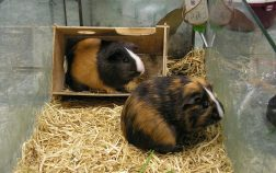How To Introduce Guinea Pigs