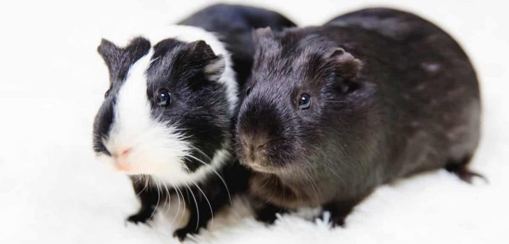 How Long Can Guinea Pigs Go Without Water