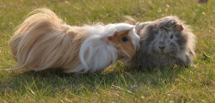How Old Do Guinea Pigs Live