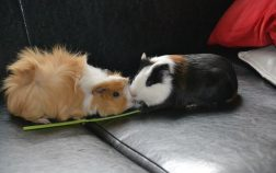 How Much Do Guinea Pigs Weigh