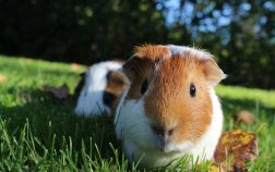 How Did Guinea Pigs Get Their Name