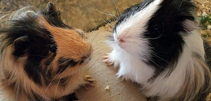 When Do Guinea Pigs Stop Growing