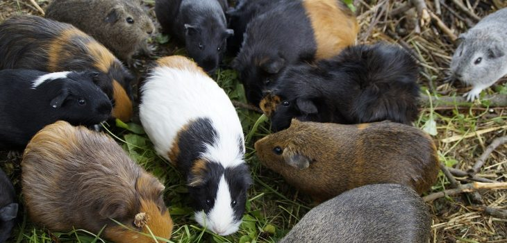 How Long Can Guinea Pigs Go Without Food