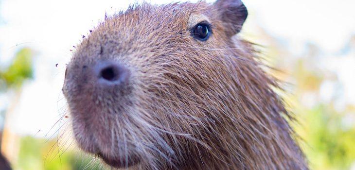 How To Keep Guinea Pigs Warm