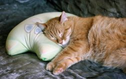 Why Does My Cat Sleep On My Pillow? 4 Possible Reasons