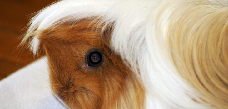 why do guinea pigs whistle