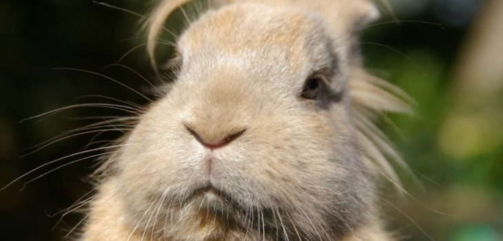 how to shave a matted rabbit