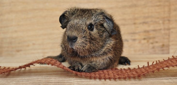 how to treat ringworm in guinea pigs