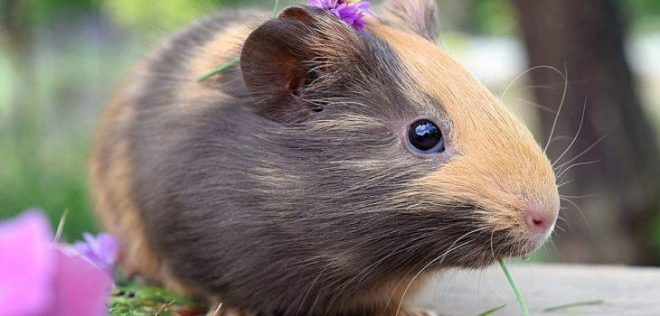 how to make a guinea pig happy