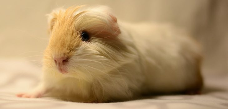 why are guinea pigs so cute