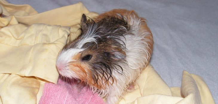 how to bathe a guinea pig without shampoo