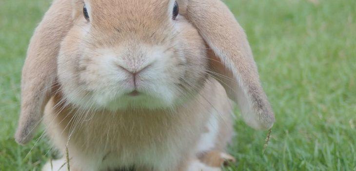 how to groom a lionhead rabbit