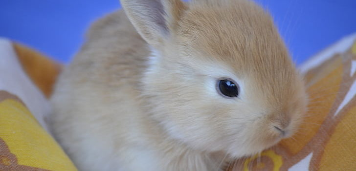 how to syringe feed a rabbit