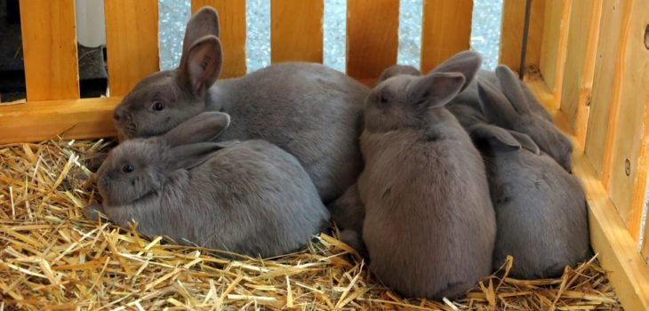 why do rabbits run in circles