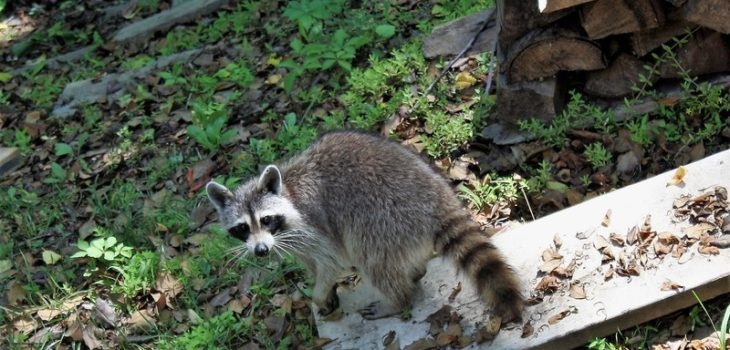 How To Keep Raccoons Out Of Cat Food: 6 Effective Tips