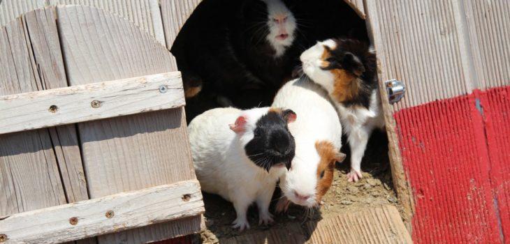how to make a guinea pig cage out of a bookshelf