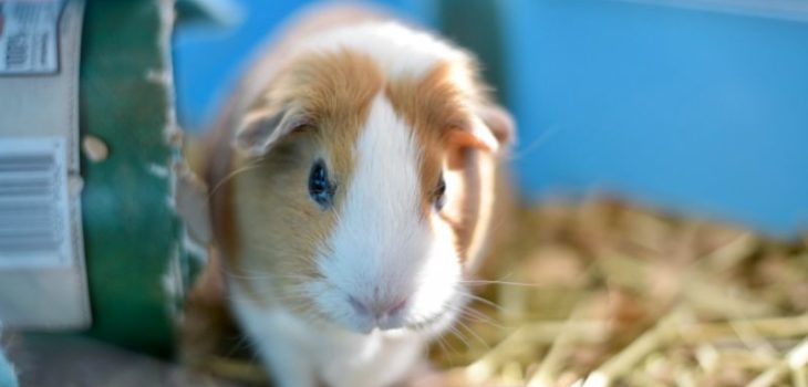 How to clean guinea pig ears
