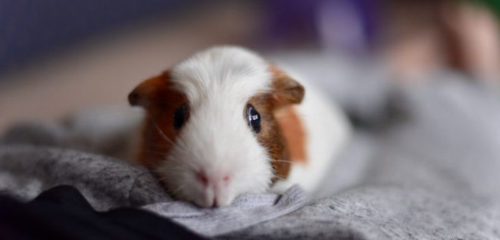 How to tame your guinea pig
