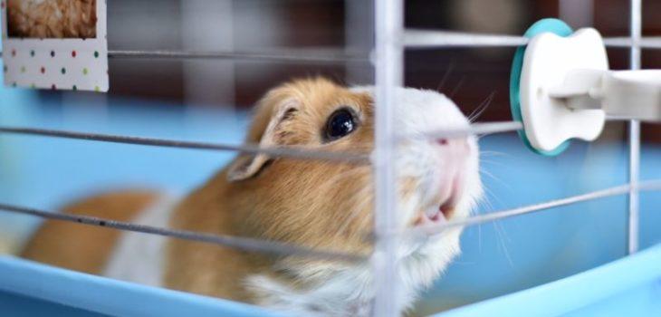 how to trim guinea pig teeth at home