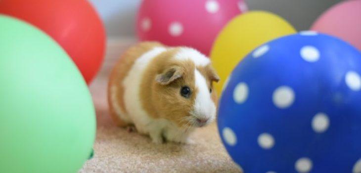 How to entertain guinea pig