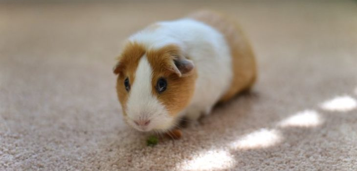 How to euthanize a guinea pig at home