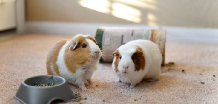 why do guinea pigs fight