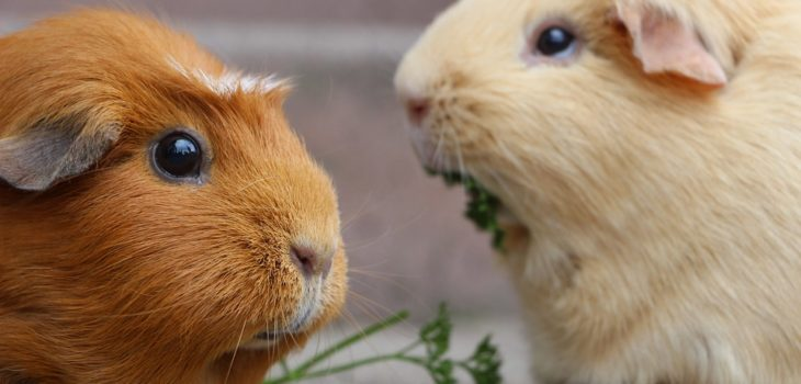 how to stop guinea pigs from fighting
