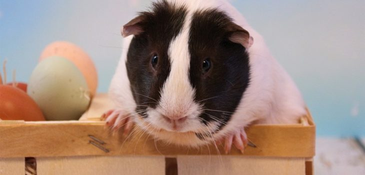 Why do guinea pigs vibrate