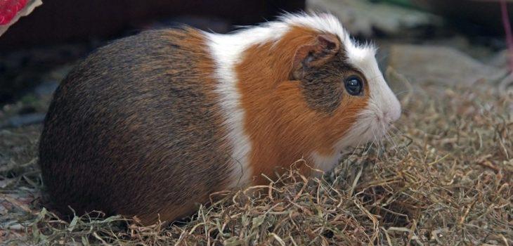 Why do guinea pigs jump