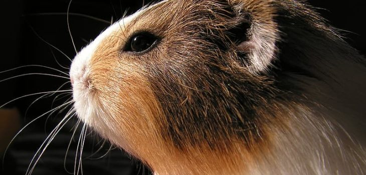 why do guinea pigs have red eyes