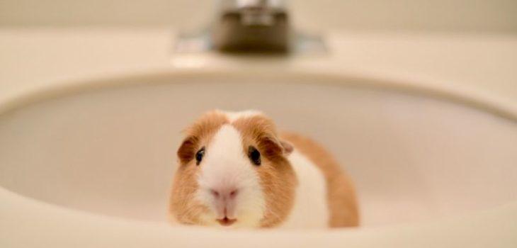 How to bathe guinea pigs